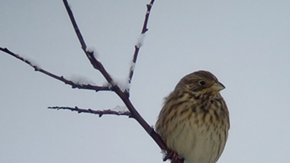 Corn bunting feeding in an un-harvested cereal crop designed by the FBI to provide winter food.