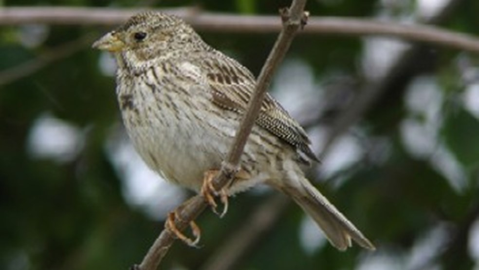 Corn bunting perched on branch