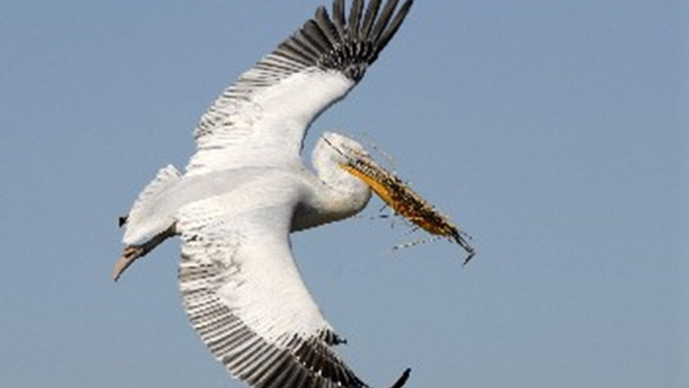 Dalmatian Pelican in flight