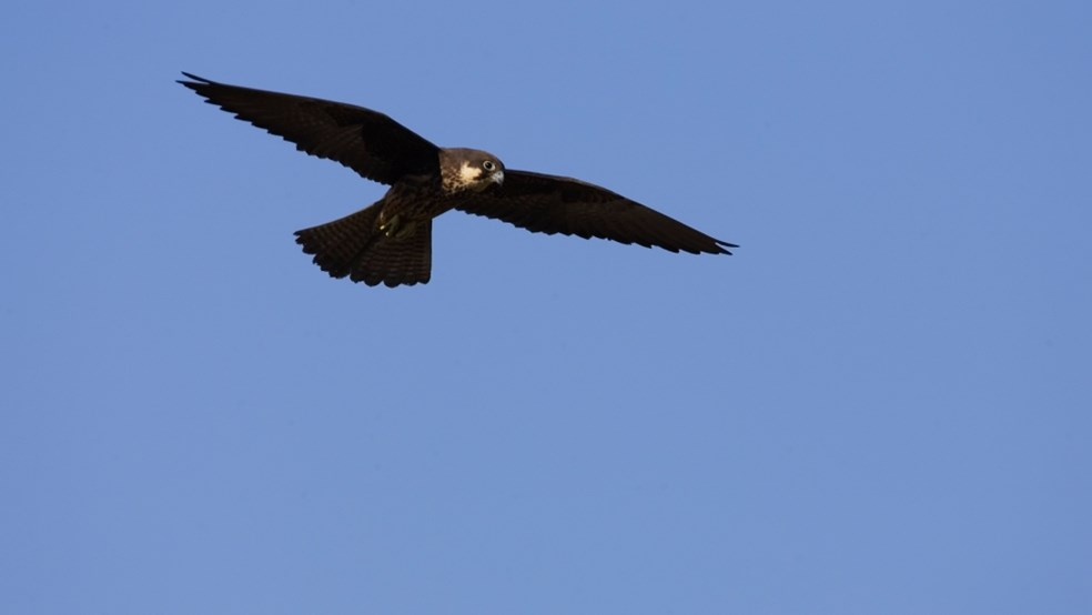 Greece holds more than 80% of the world's eleonora's falcons - a key species which HOS is protecting