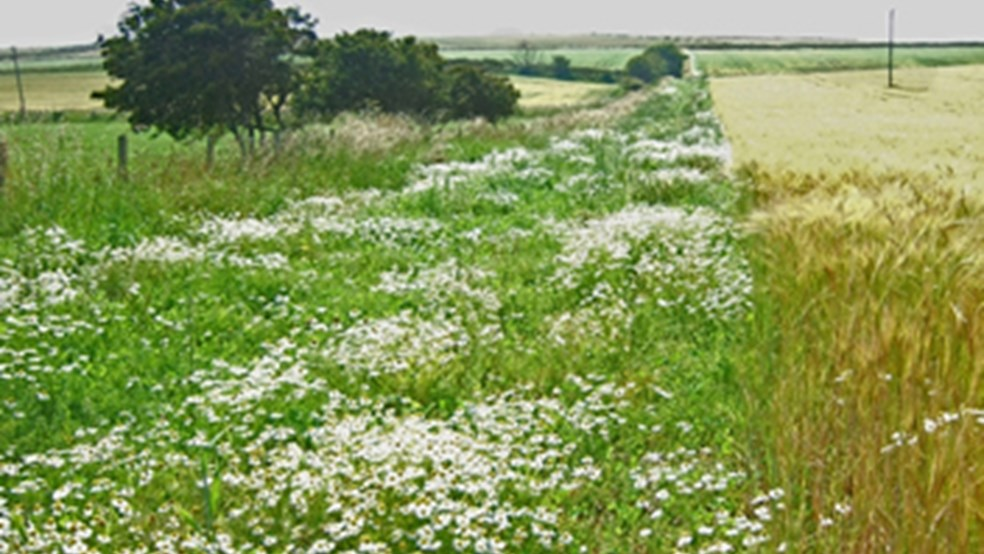 Floristically enhanced margin designed to create insect rich foraging areas for farmland birds.