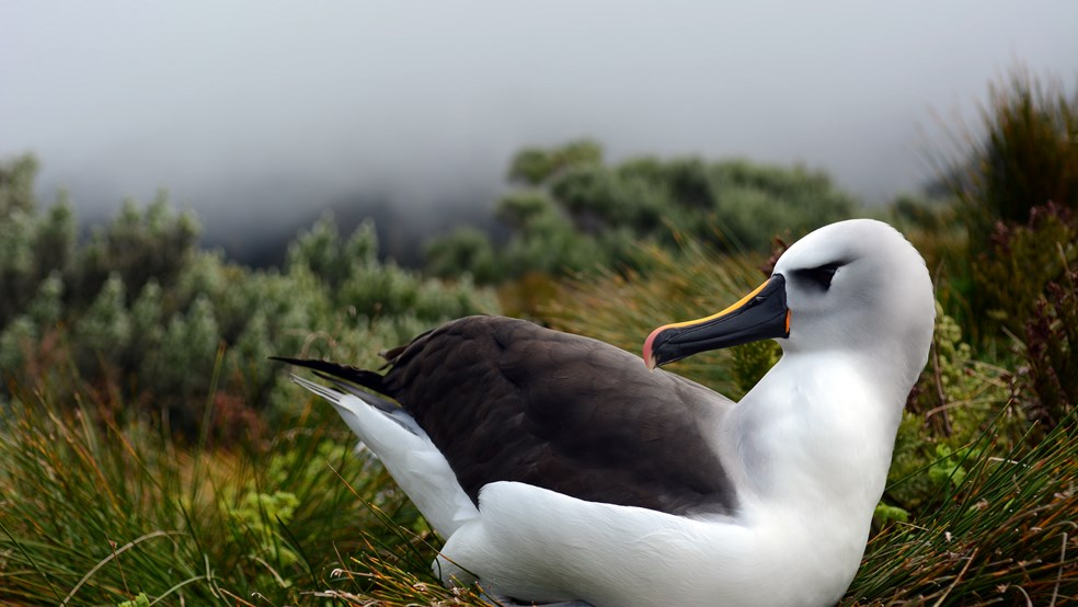Albatross at Gough Island