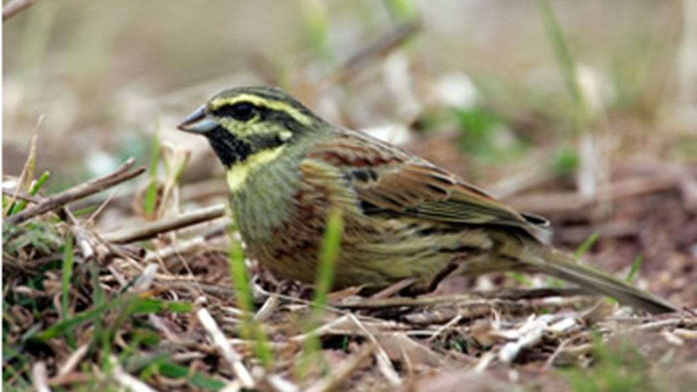Male cirl bunting feeding in stubbles