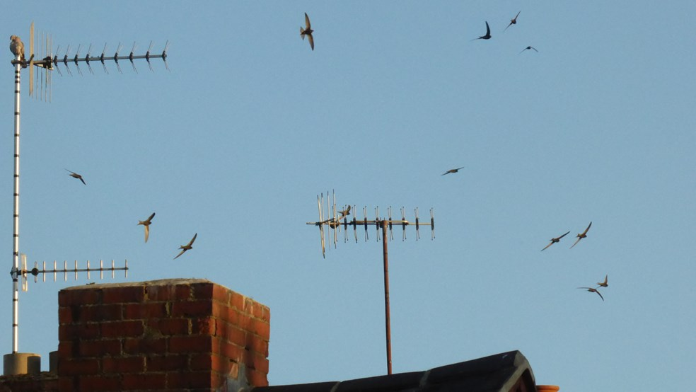 Swifts on the wing above the rooftops