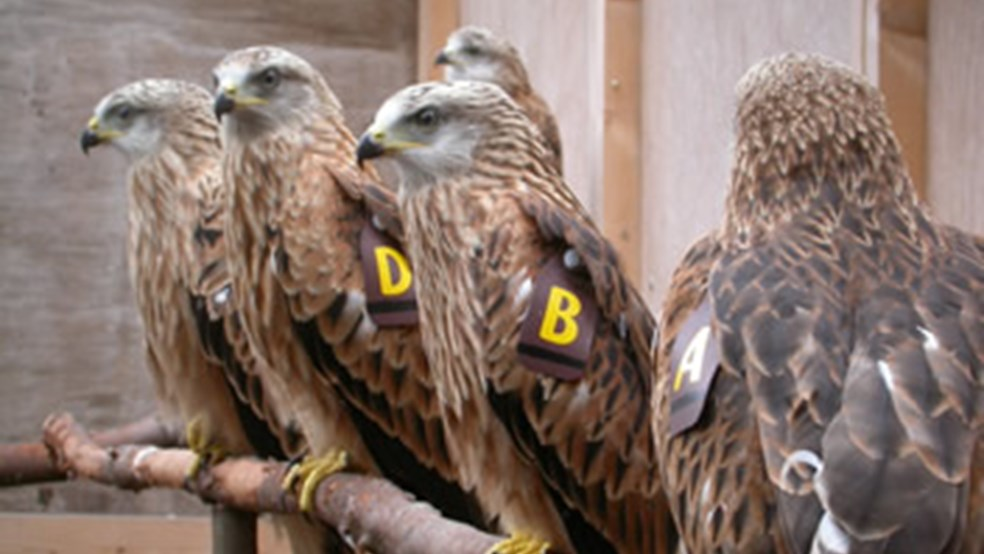 Red kites in release pens in Northern Ireland