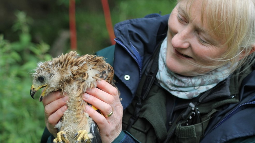 Volunteer with red kite chick