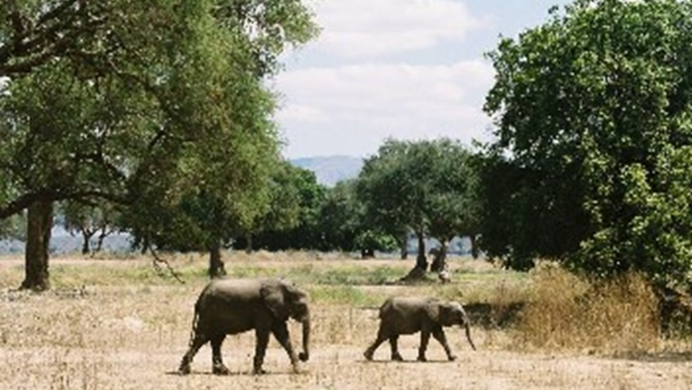 Young elephants dwarfed by Acacia albida trees in Mana Pools NP