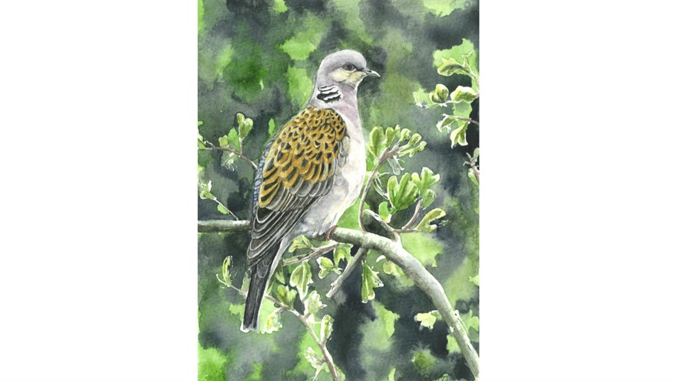 Painting of a turtle dove