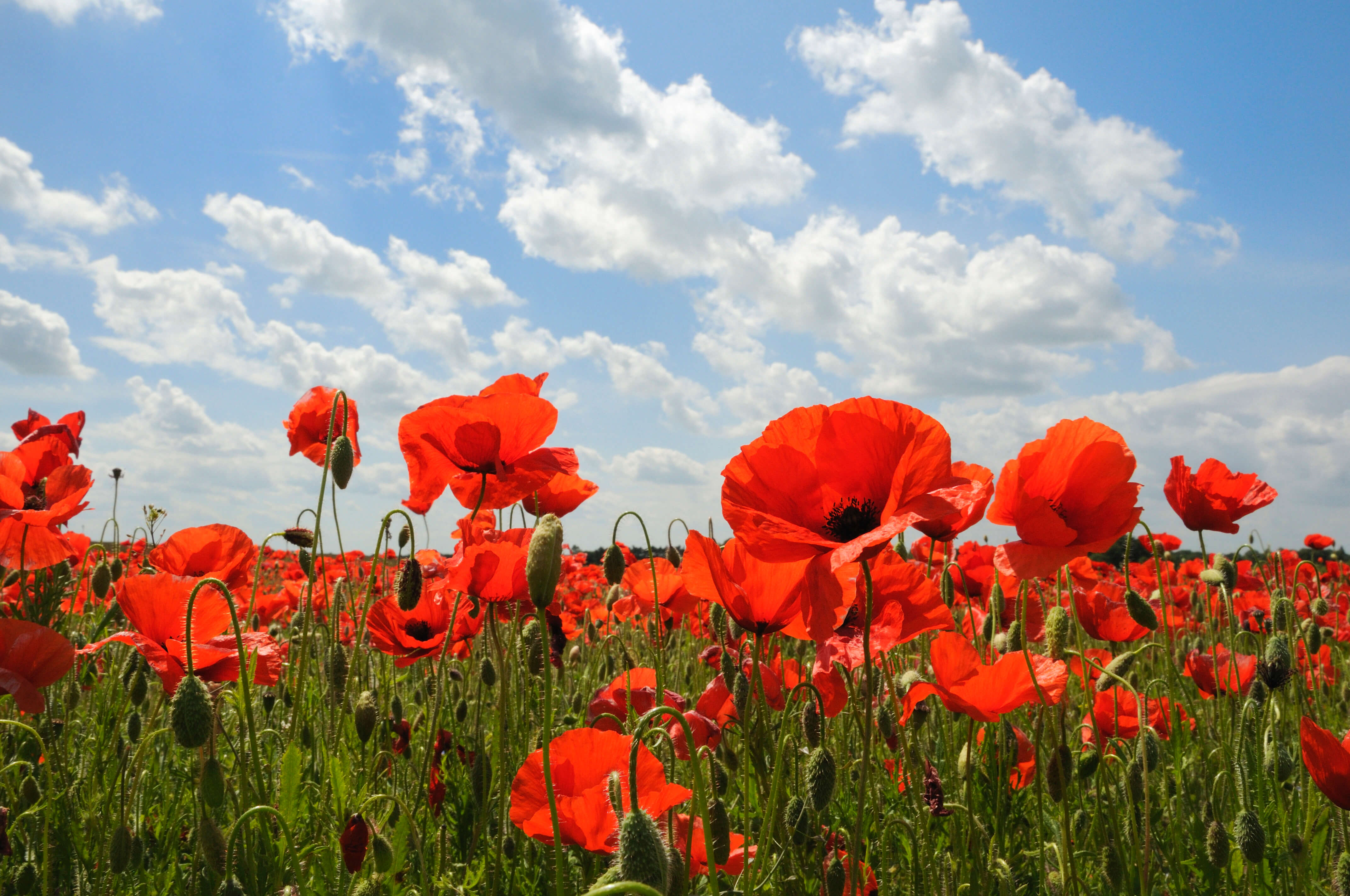 Sow A Poppy Patch
