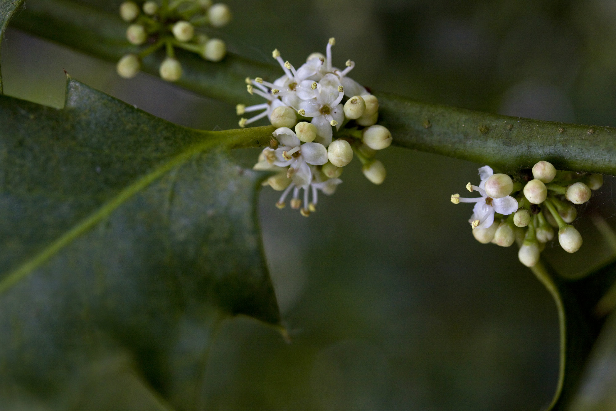 Holly flowers and leaves