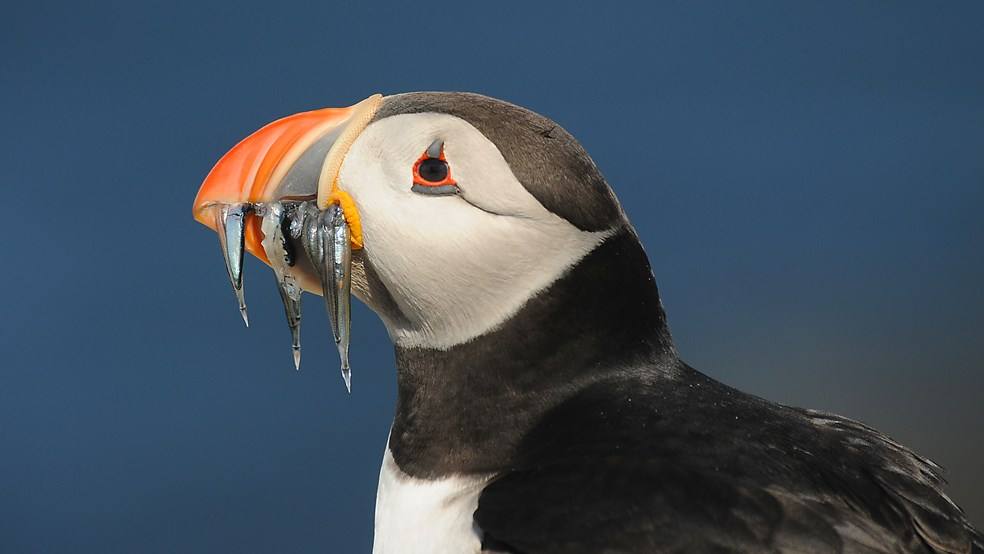 Puffin with sandeels in beak