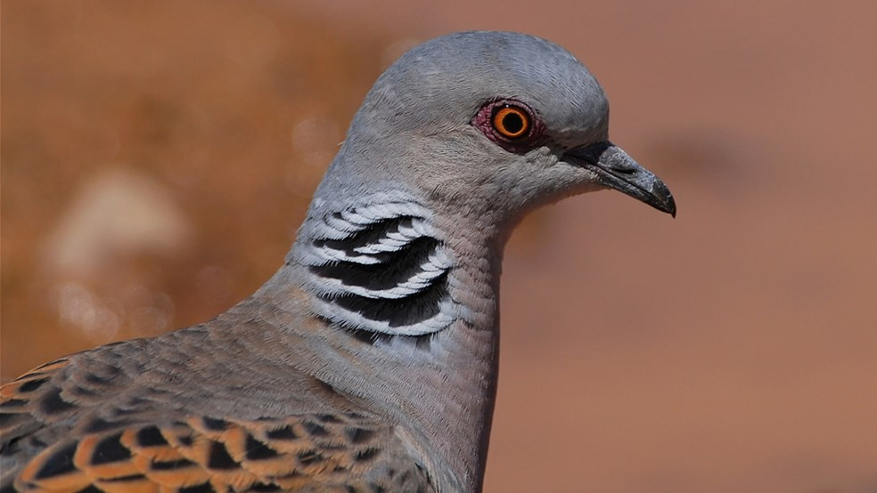 Close up of turtle dove