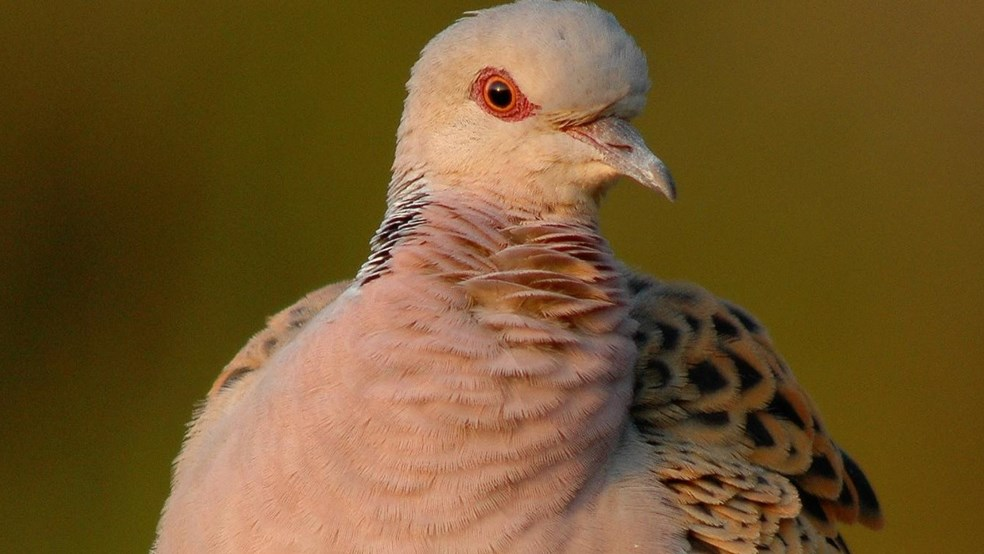 Turtle dove front on