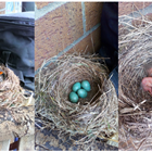 Blackbird nest at primary school