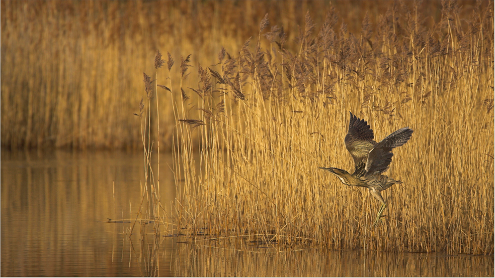 A bittern takes flight