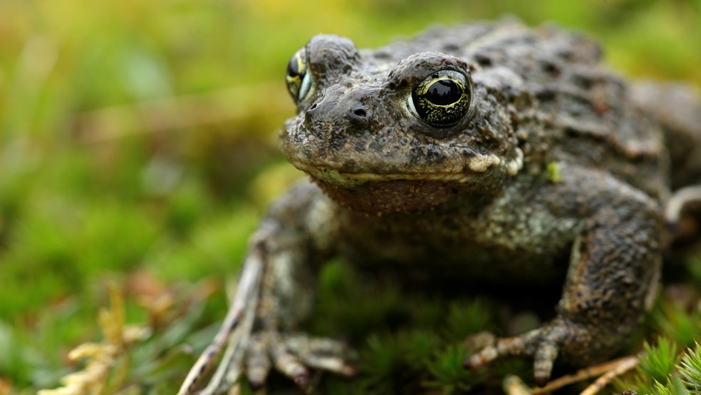 Natterjack toad at The Lodge RSPB reserve