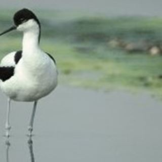 Where and what do avocets eat?