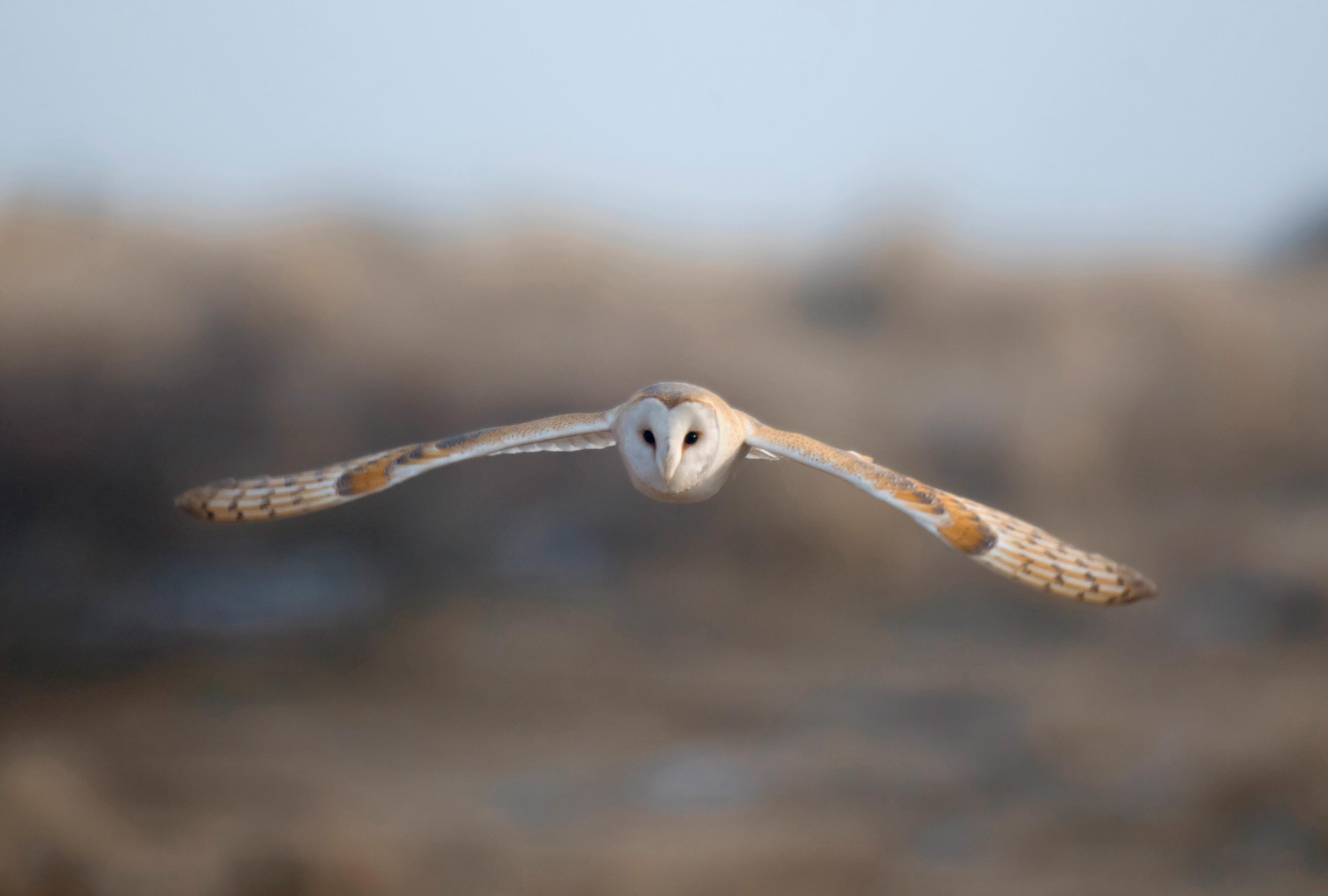 barn owl conservation advice for farmers the rspb