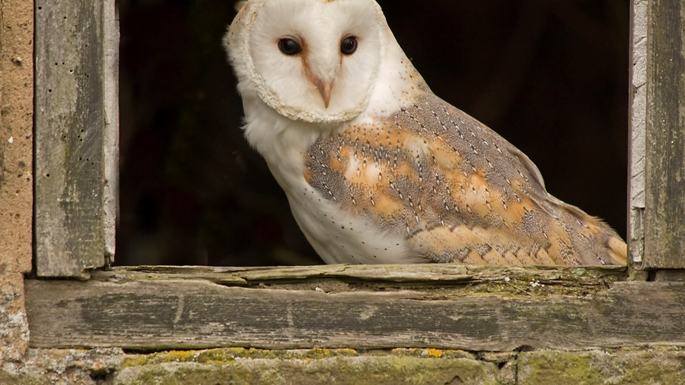 Barn owl Tyto alba, perched in a window, United Kingdom