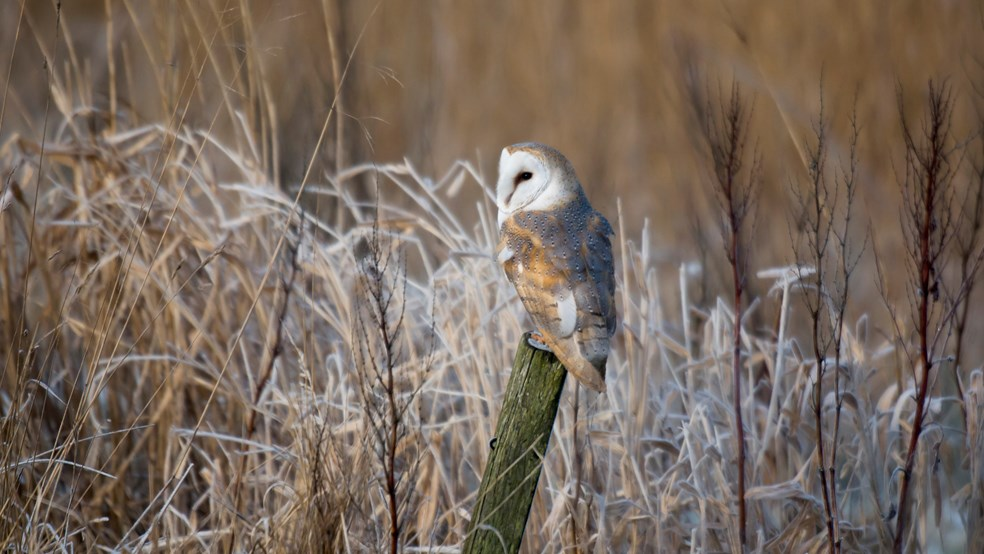 Barn owl Tyto alba, sat on post, Druridge Bay, Northumberland