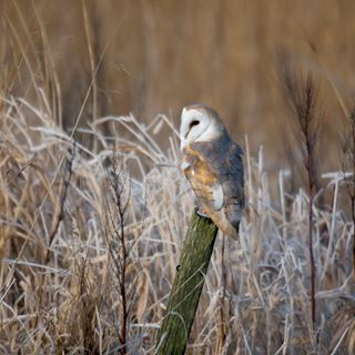 Barn Owl | Facts About Barn Owls - The RSPB