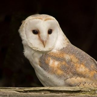https://www.rspb.org.uk/globalassets/images/wildlife/birds/barnowl/barn-owl-tyto-alba_by-dave-braddock-crop.jpg?preset=square_desktop