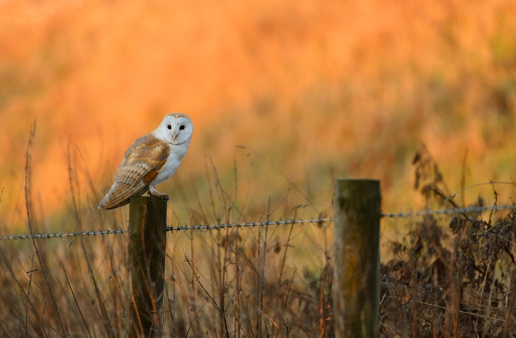 Barn Owl Habitat   Where do Barn Owls Live - The RSPB