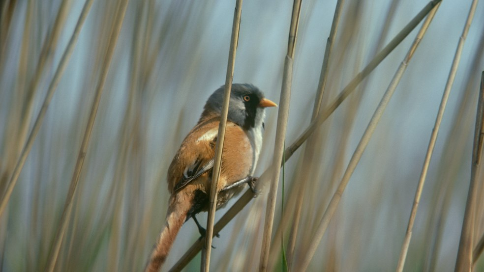 Bearded reedling, bearded tit, male perched in reedbed