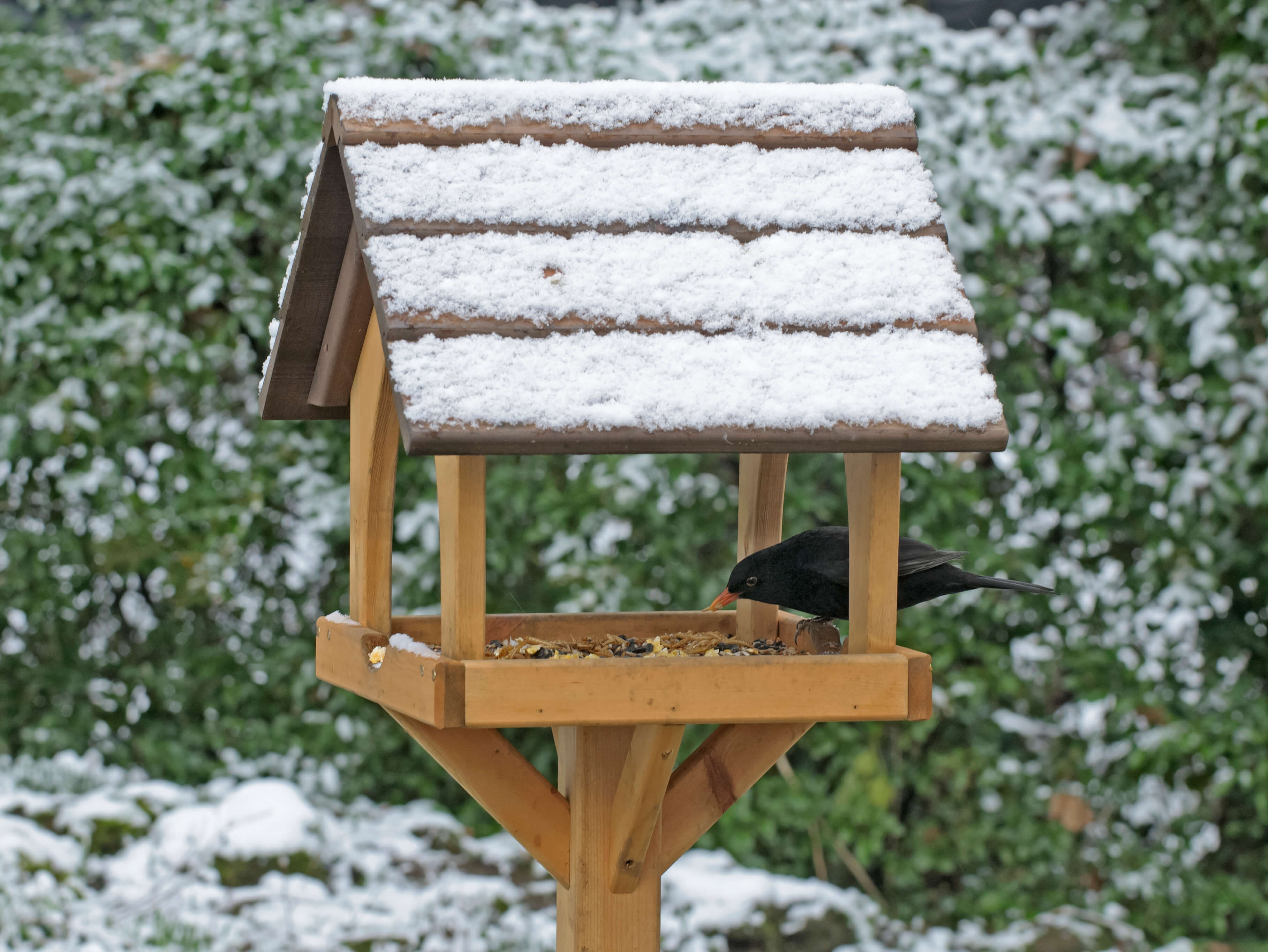 Blackbird on bird table