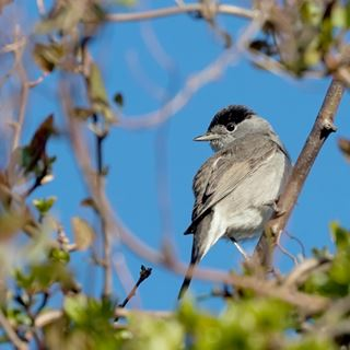 Blackcap migration