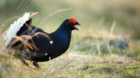 Ghosts of the forest - black grouse watch