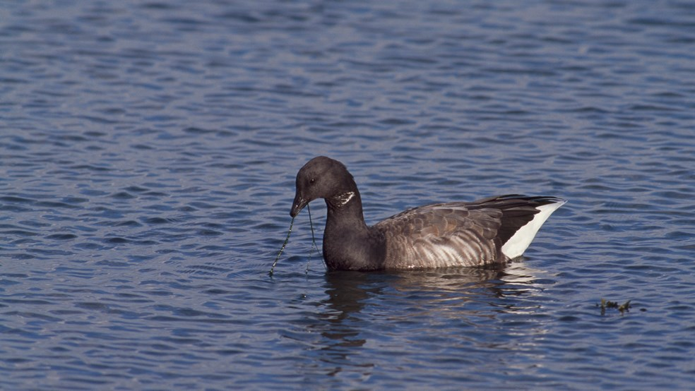 Dark-bellied brent goose on water, Hayling Island