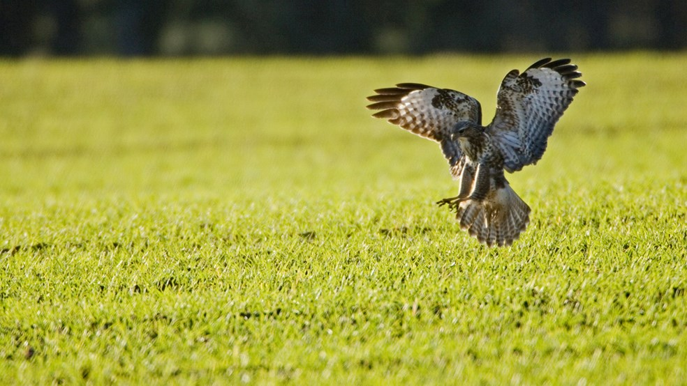 Buzzard in a field of wheat, Bedfordshire