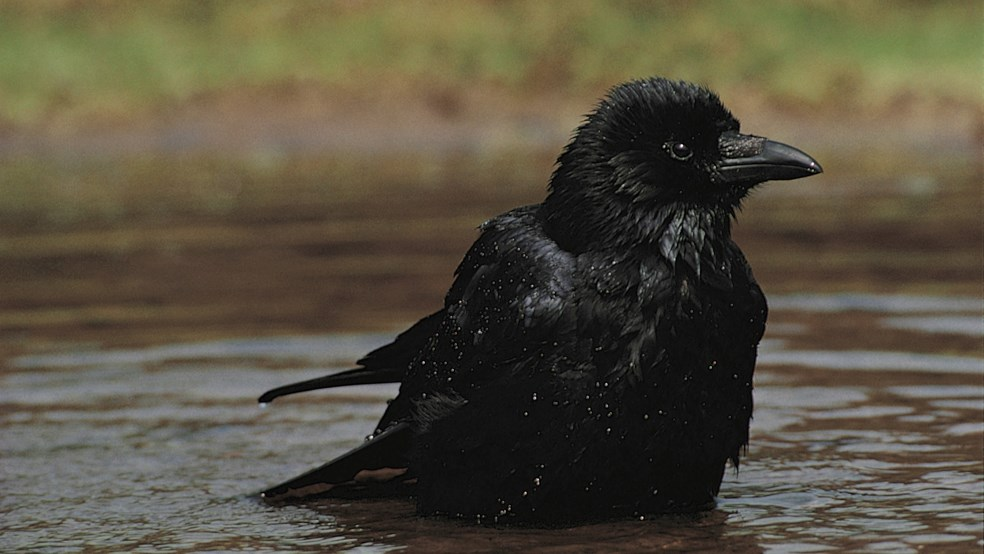 Carrion crow Corvus corone, bathing in pond