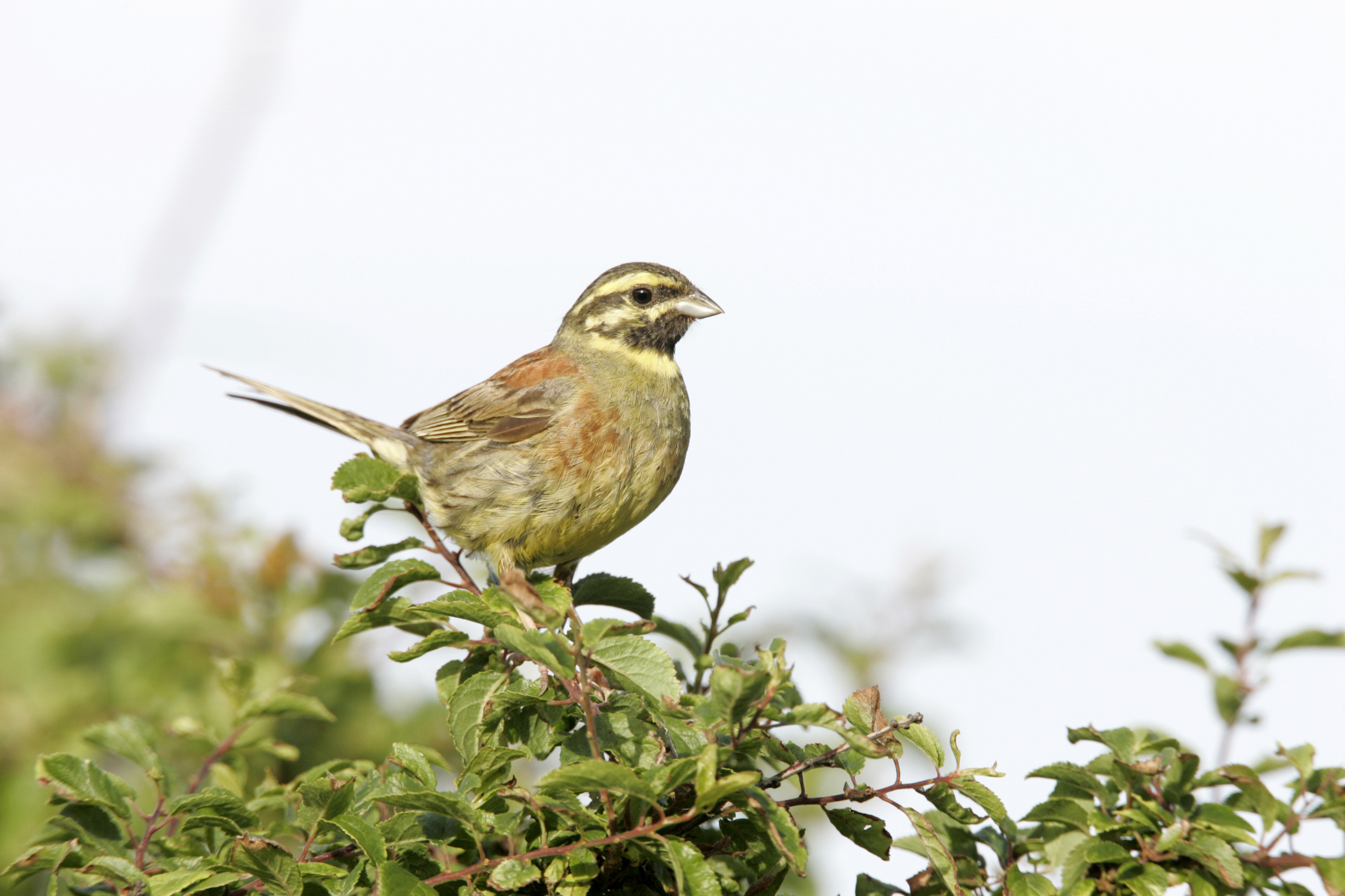 Cirl Bunting Conservation Project The Rspb