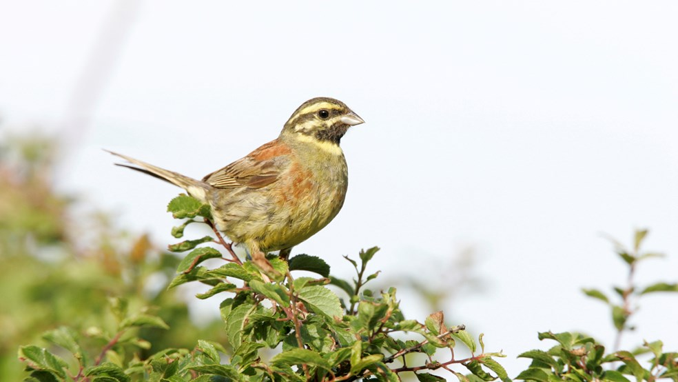 Adult male Cirl bunting, Emberiza cirlus. RSPB Cirl Bunting Project. Devon, England. July