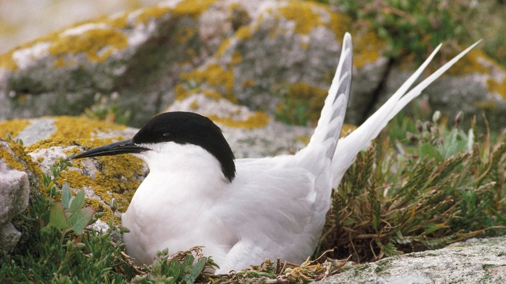 Roseate tern on nest amongst lichen covered rocks