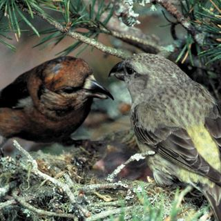 Climate change and crossbills