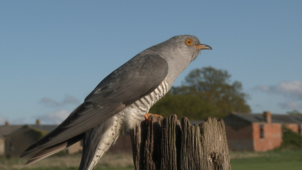Common cuckoo Cuculus canorus, adult male perched on a post, Stow Maries, Essex