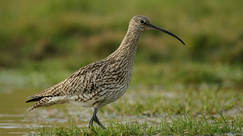 Curlew walking in shallow water at Geltsdale RSPB reserve