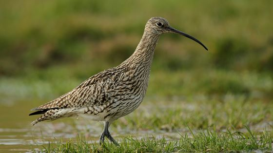 Bowland Wader Project