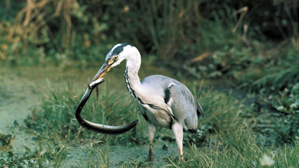 Grey heron catching eel