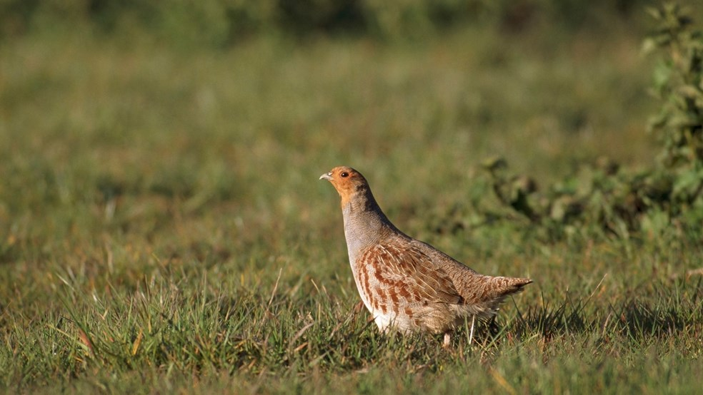 A side view of a grey partridge in short grass near a hedge.