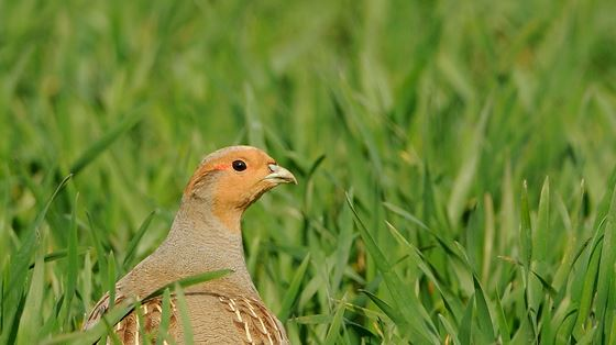 Axholme and Idle farmland birds project
