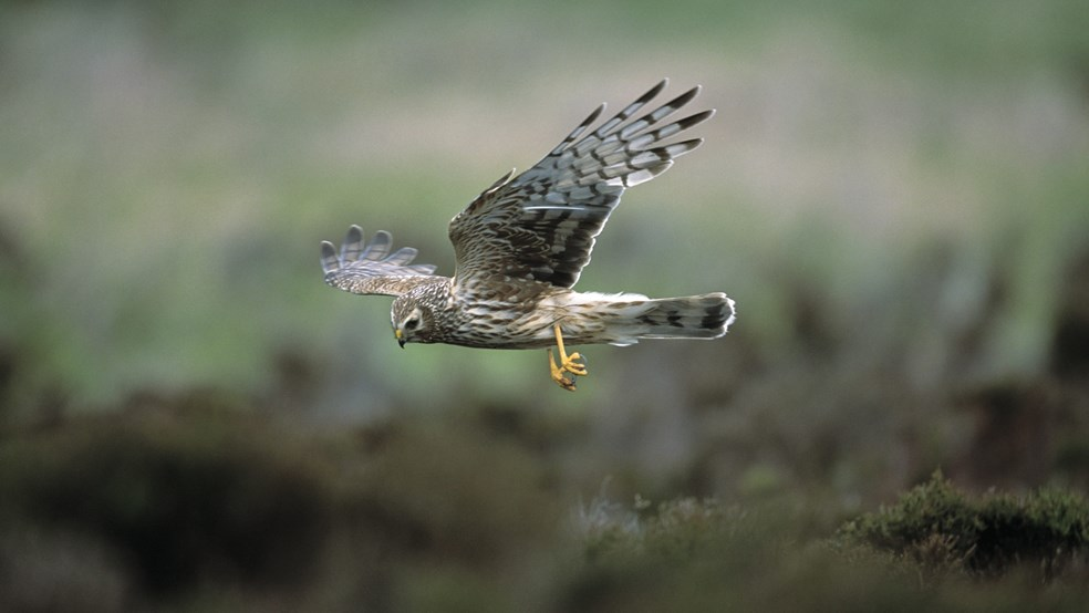 Hen harrier Circus cyaneus, adult female in flight, hunting, Loch Gruinart RSPB reserve, Islay