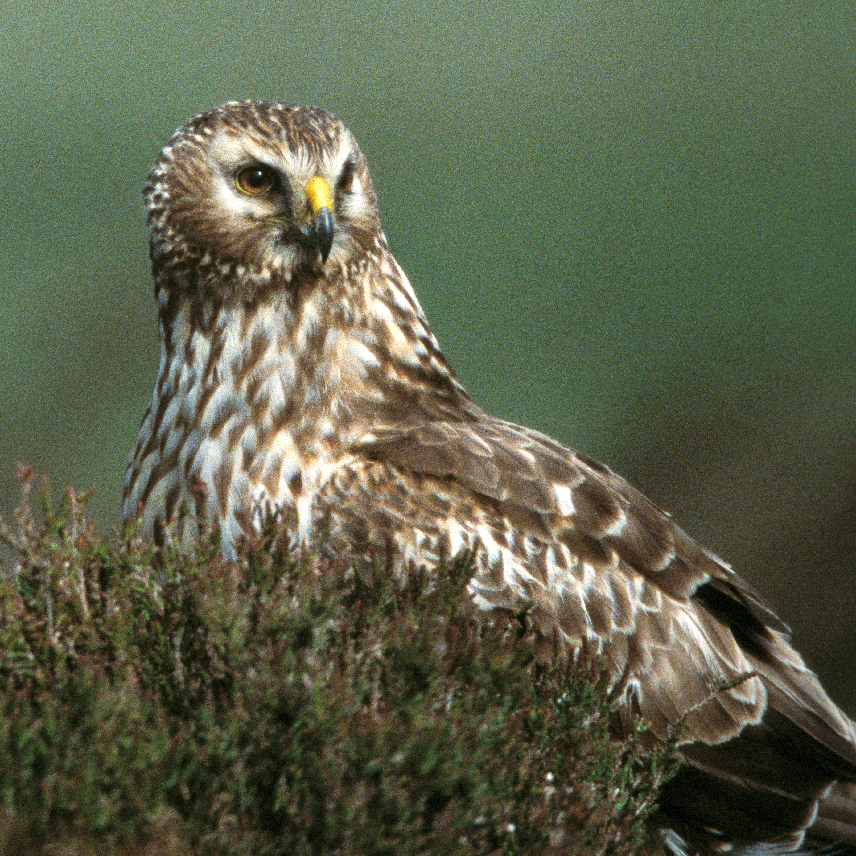 wild birds and the law hen harrier protection the rspb