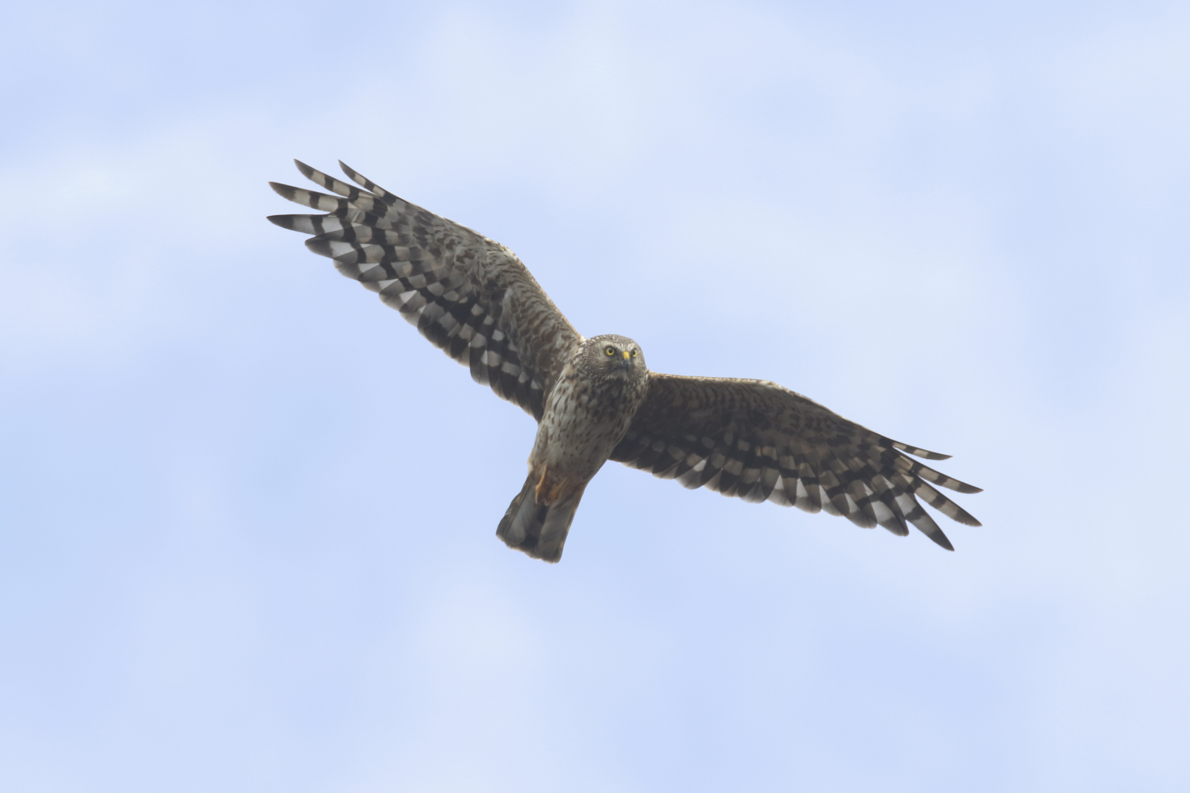hen harrier satellite tagged for the first time in wales