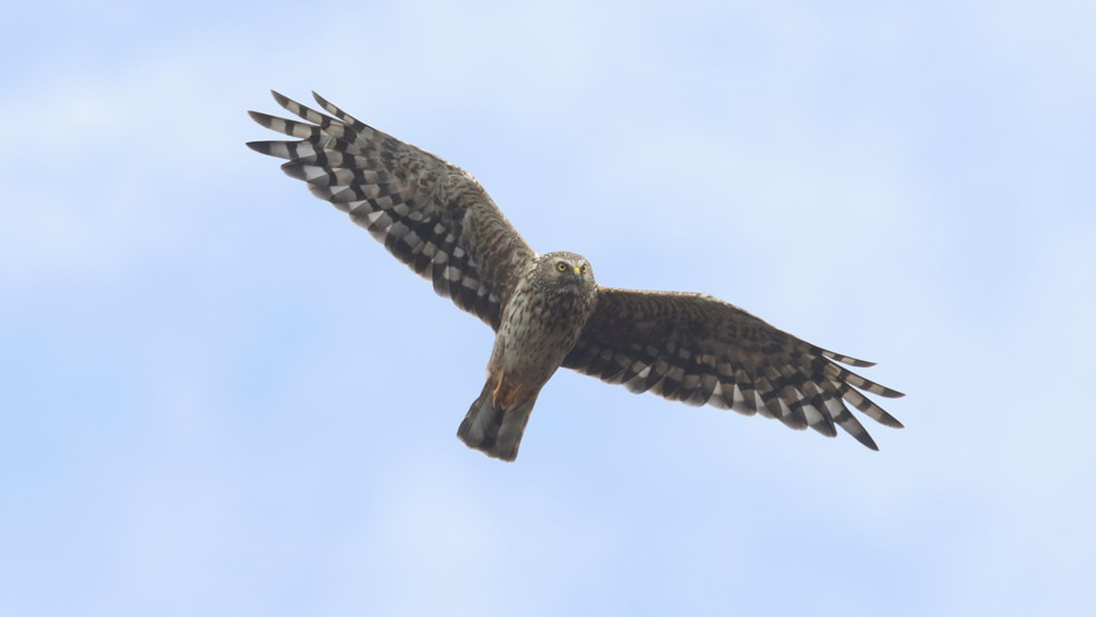 Hen harrier Circus cyaneus, female in flight against blue sky, Geltsdale, Cumbria