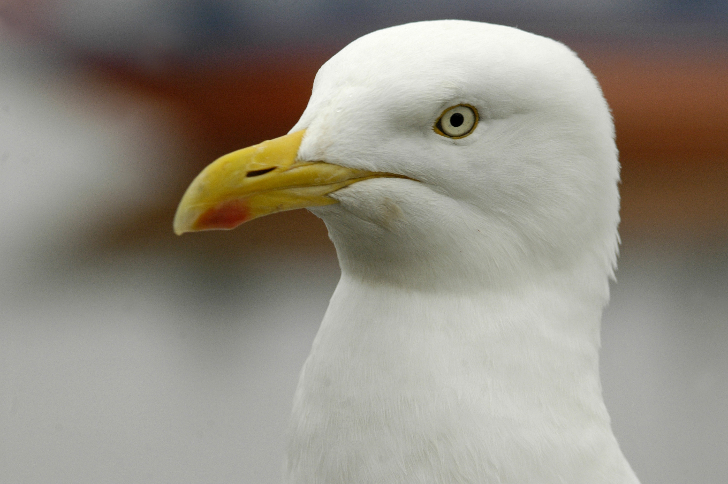 Give Gulls Love, Not Chips