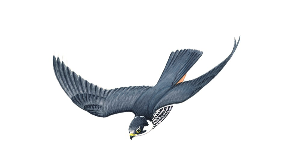 Artwork, Hobby, Falco subbuteo, in flight